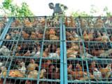Dr Khondaker Golam Moazzem on local poultry farming